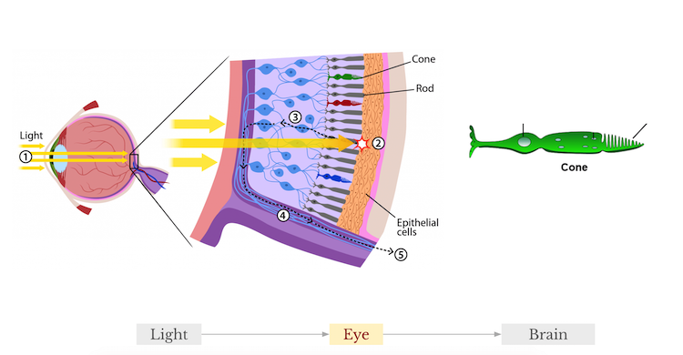 A medical illustration of the inside of a human eye, how light passes through the eye and hits cones